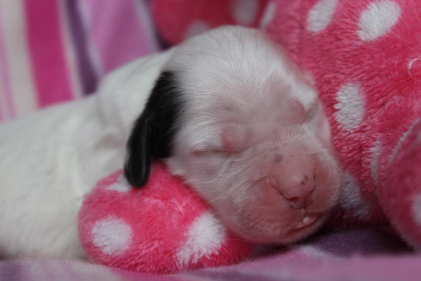 Nattaset english setter puppies 2017